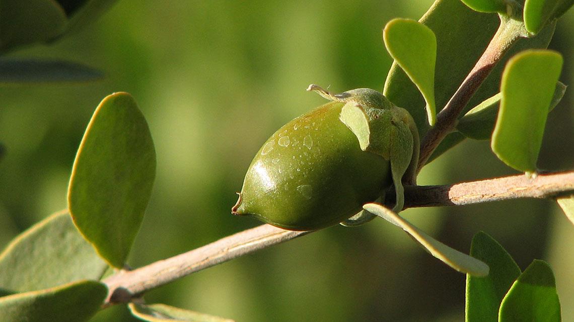 pianta di jojoba