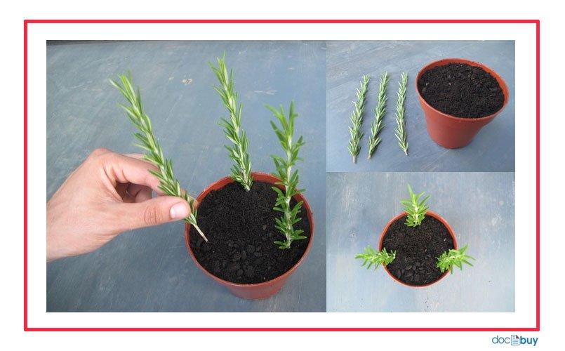 pianta-di-rosmarino